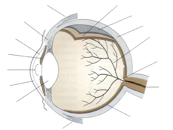 Label Parts Of The Human Eye